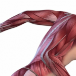 graphic from the side of below the skin musculature of a man from the neck to the waist